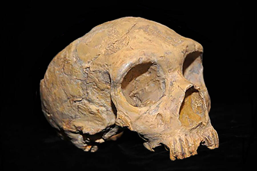 Ancient Human Skull Share