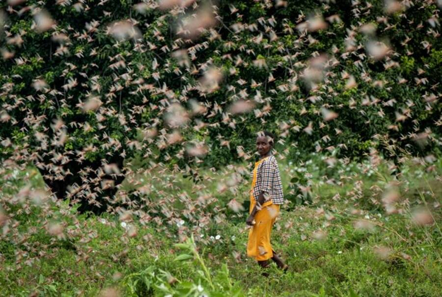 Farmer In Kenya Locust Invasion