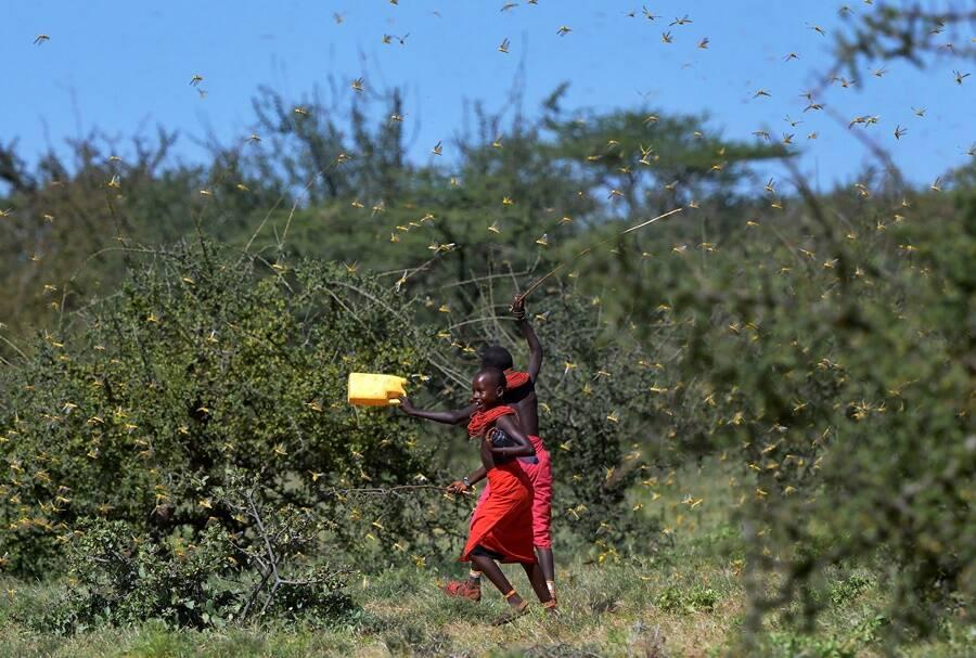 Locusts Invading Kenya Pastures