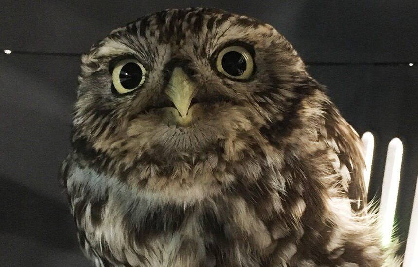 Owl That Was Too Fat To Fly