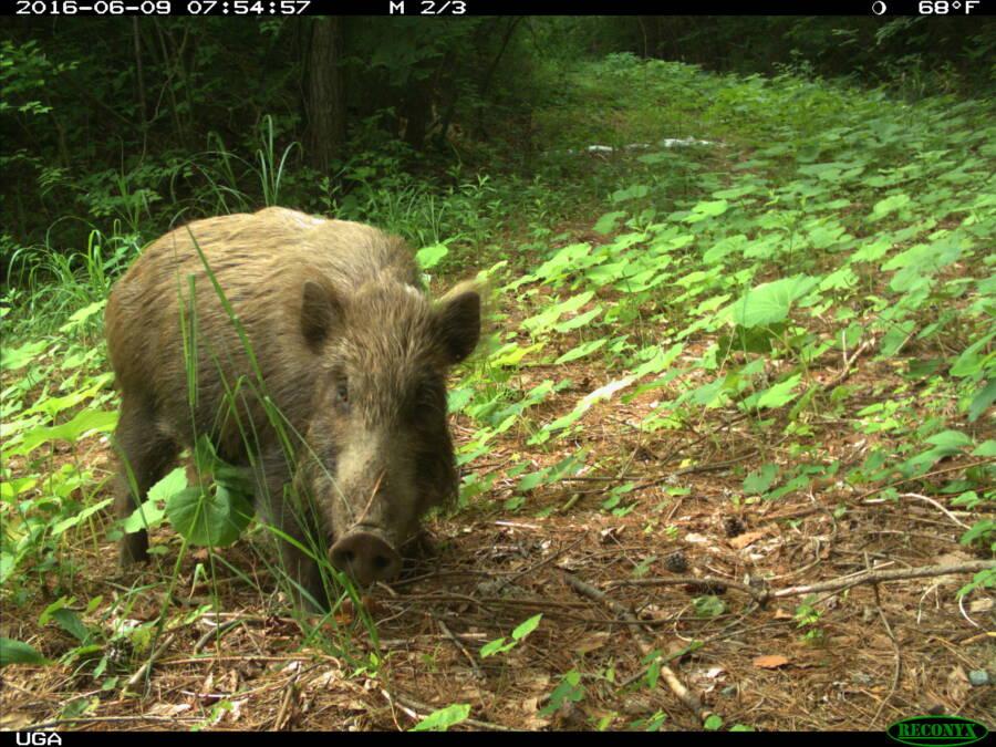 Wild Boar Fukushima Animals