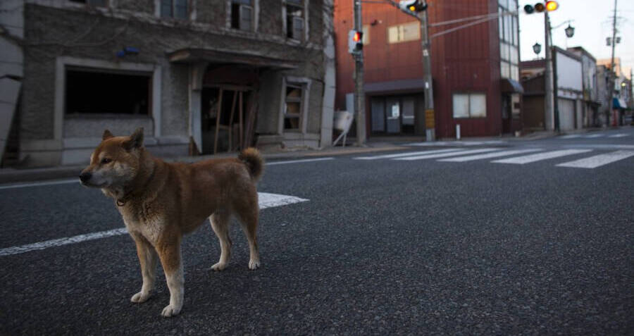 Wild Dog Roaming Irradiated Fukushima Street