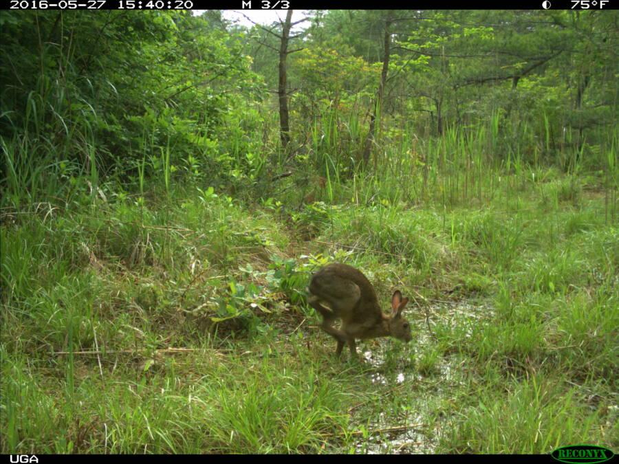 Wild Hare Fukushima