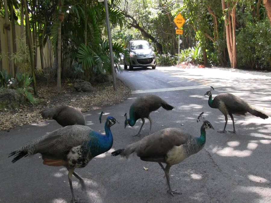 Coconut Grove Peacocks Blocking Traffic