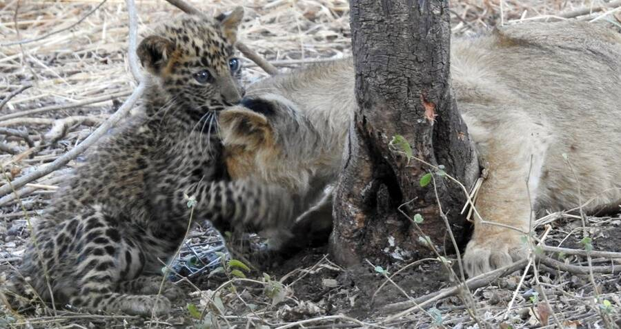 Mother Lion In India Adopted An Orphan Leopard Cub As Her Own In World First