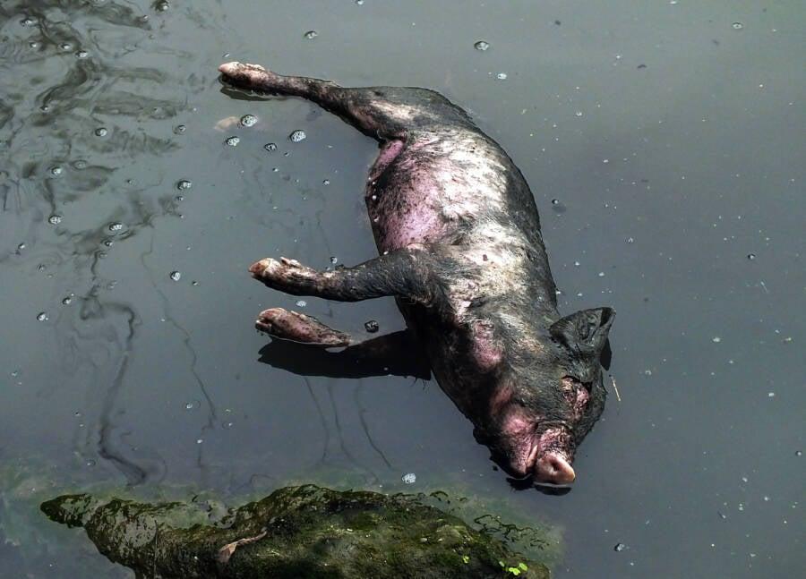 Dead Pig Yangtze Tributary