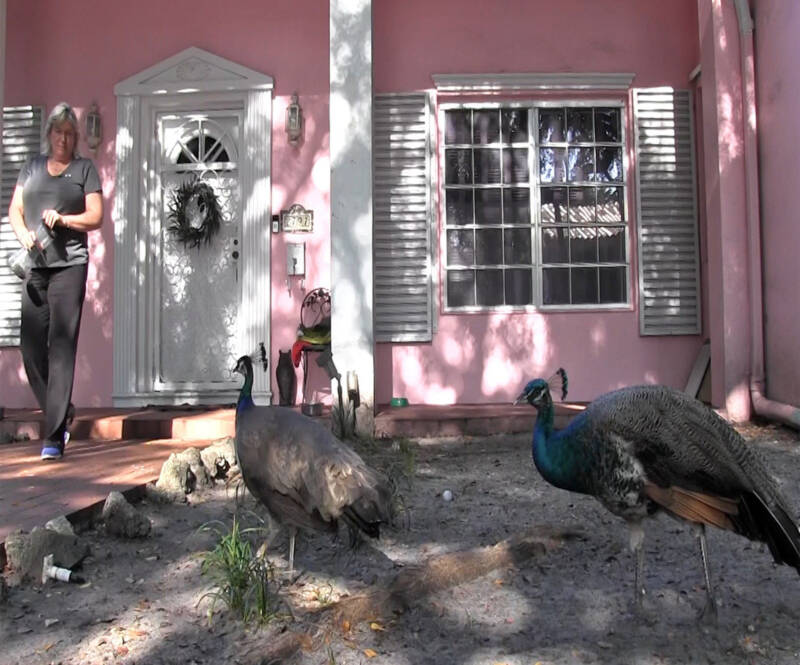 Grove Resident Feeding Peacocks
