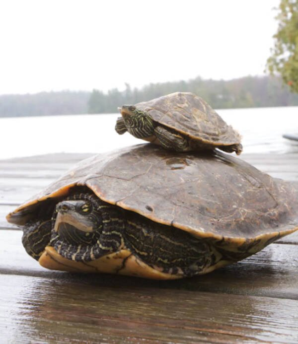 Male And Female Northern Map Turtles