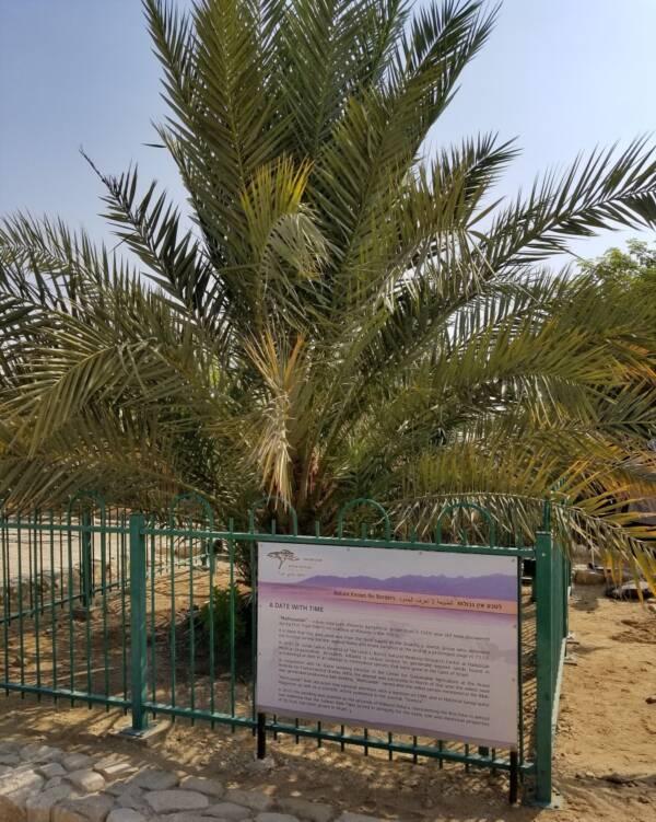 Methuselah Palm