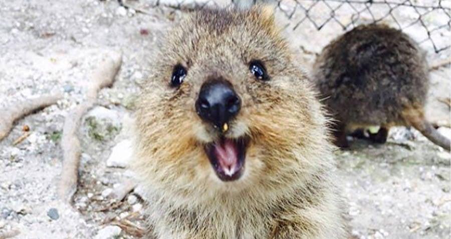 Amazingly Cute Quokka Smile