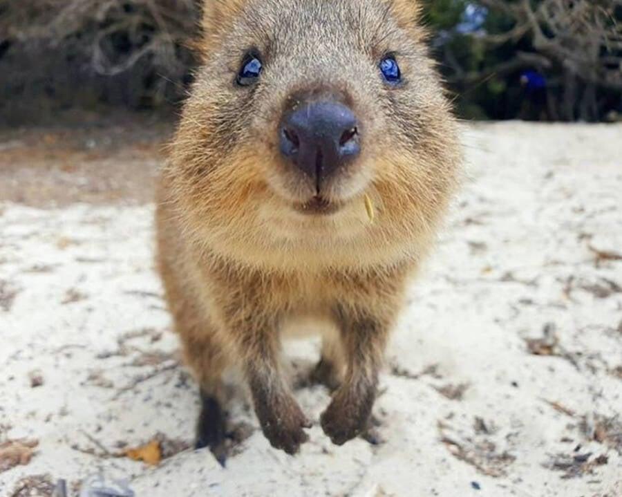Austrailian Quokka Sand