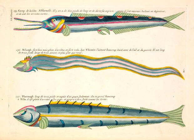 Colorful Drawings Of Bandfish