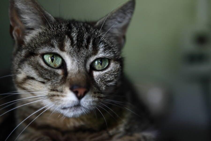 Beautiful Cat Green Eyes