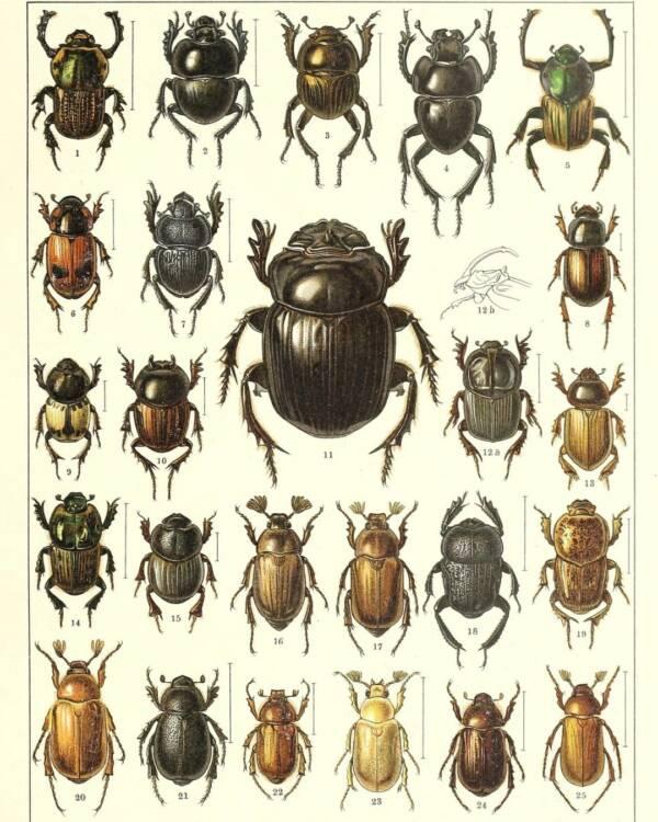 Illustrated Beetles