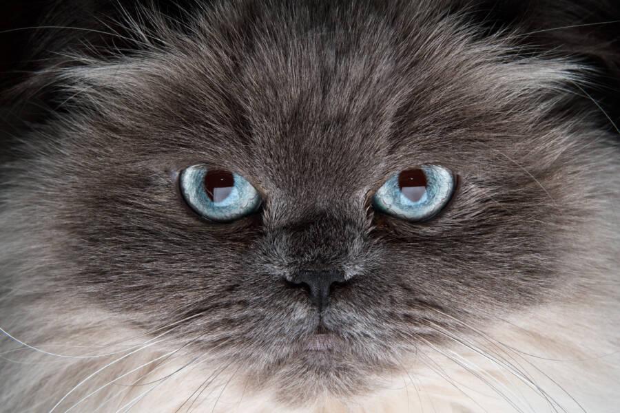 Blue Eyed Gray Cat