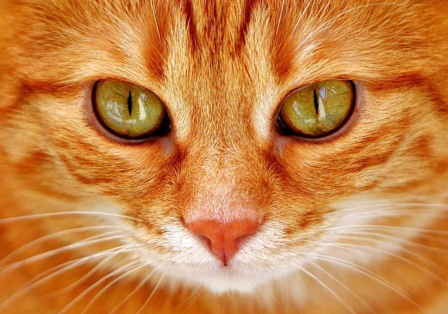 Closeup On Orange Cat's Eyes