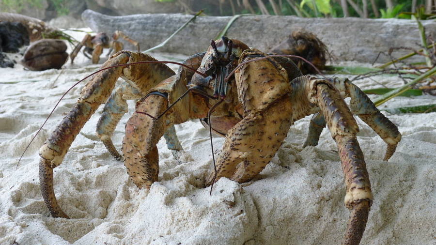 Coconut Crab On The Beach
