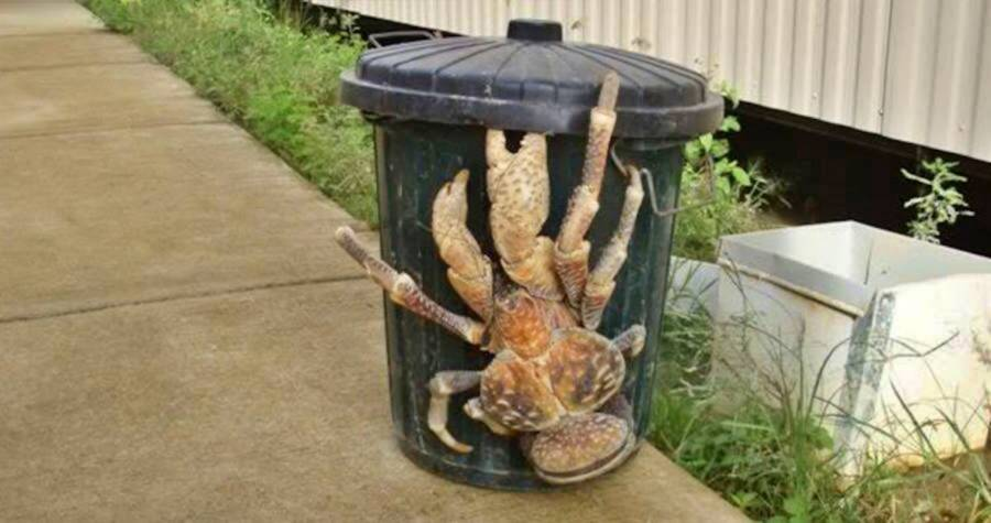 Coconut Crab On A Trash Can
