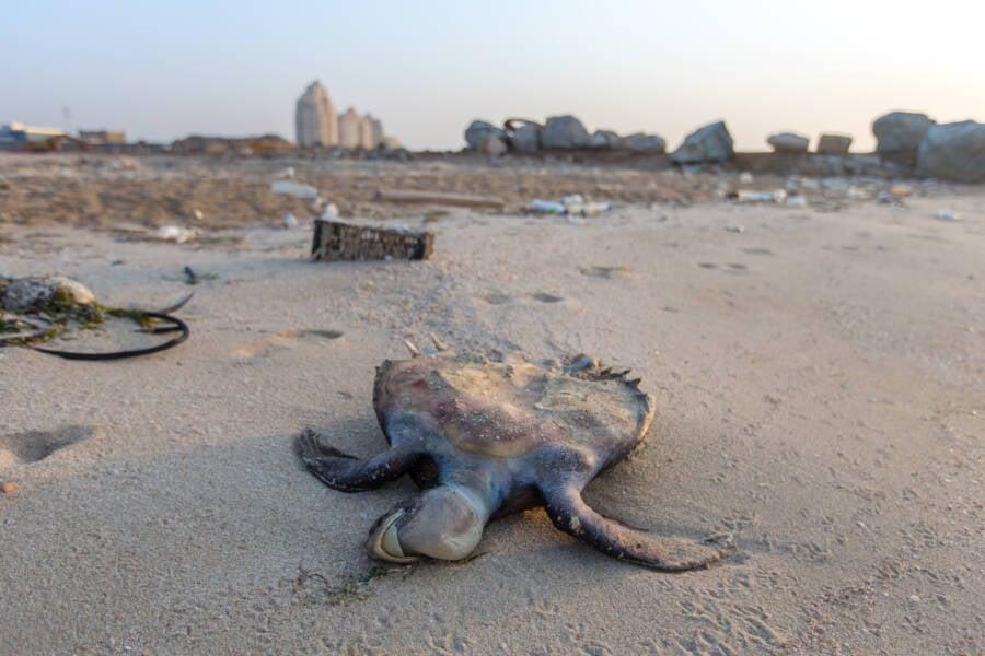 Dead Sea Turtle On Al Jazirah Beach