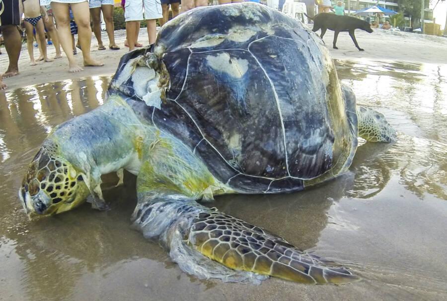 Dead Sea Turtle Wrapped In Plastic