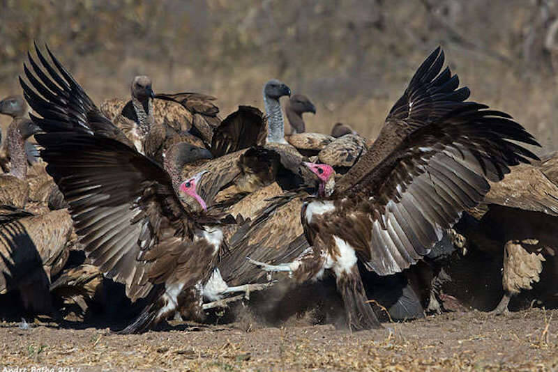 Flock Of African Vultures