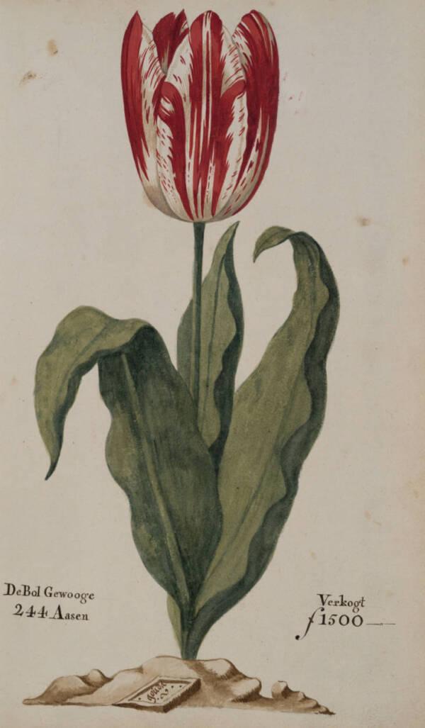 Gouda Tulip
