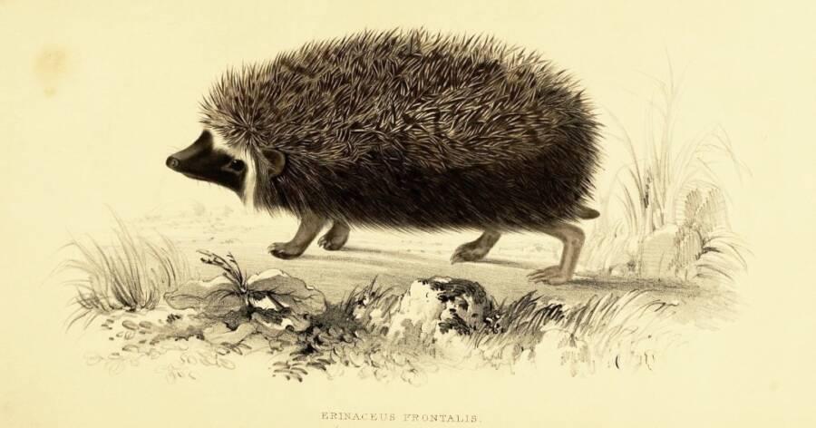 Illustrated Hedgehog