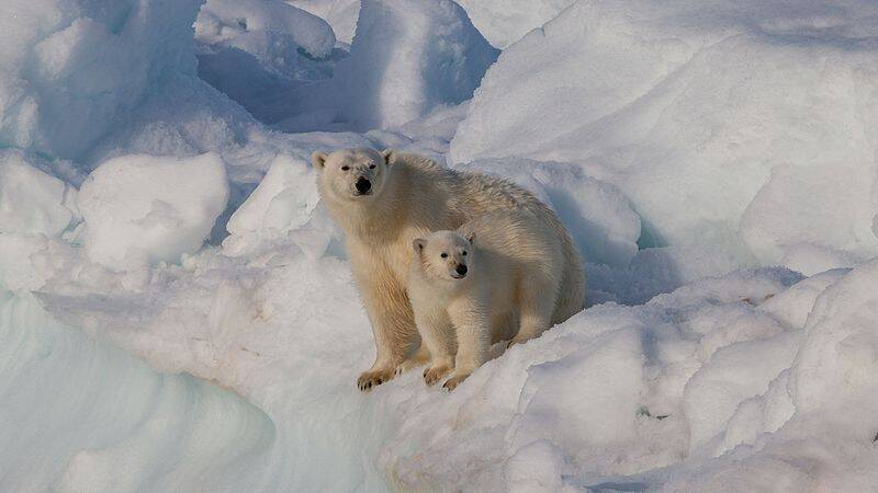 Polar Bear Mother And Cub In Svalbard