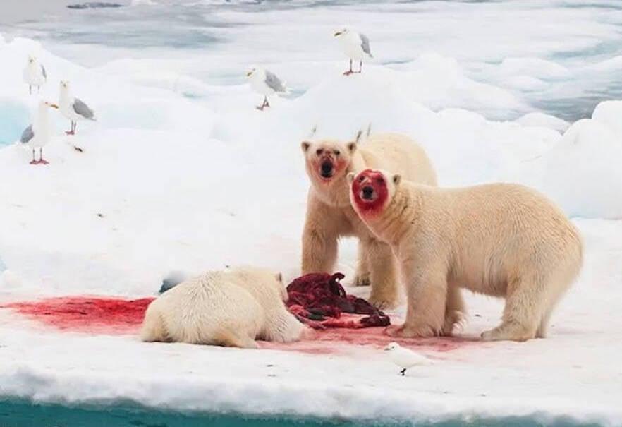 Polar Bears Eating Polar Bears