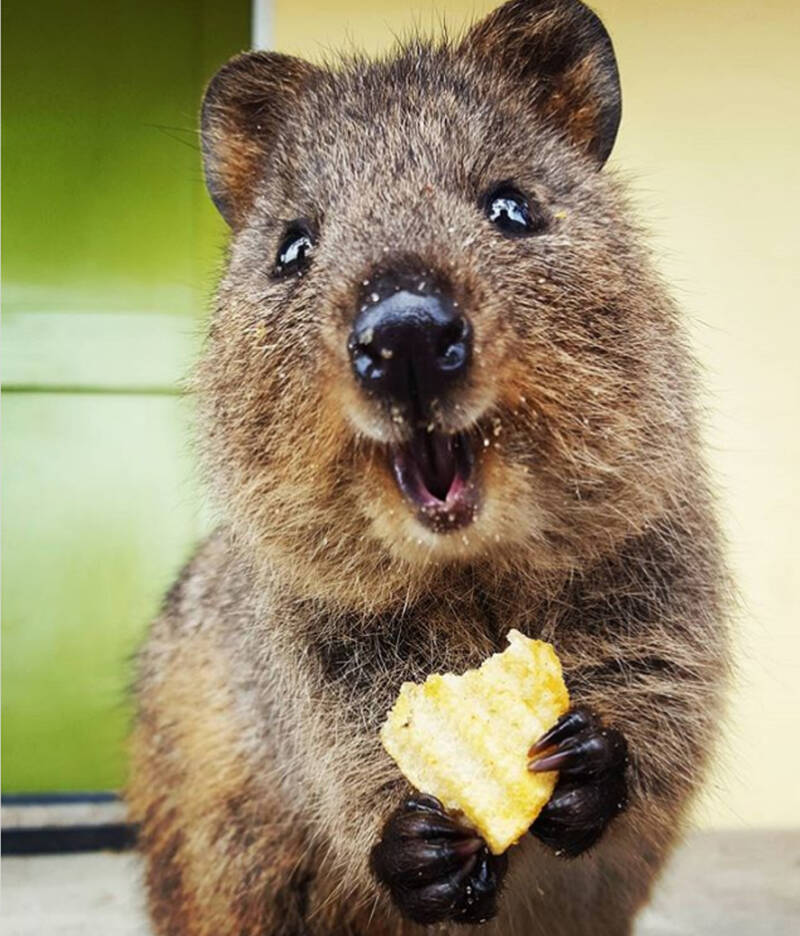 Why Quokkas Are The Cutest Animals On Earth