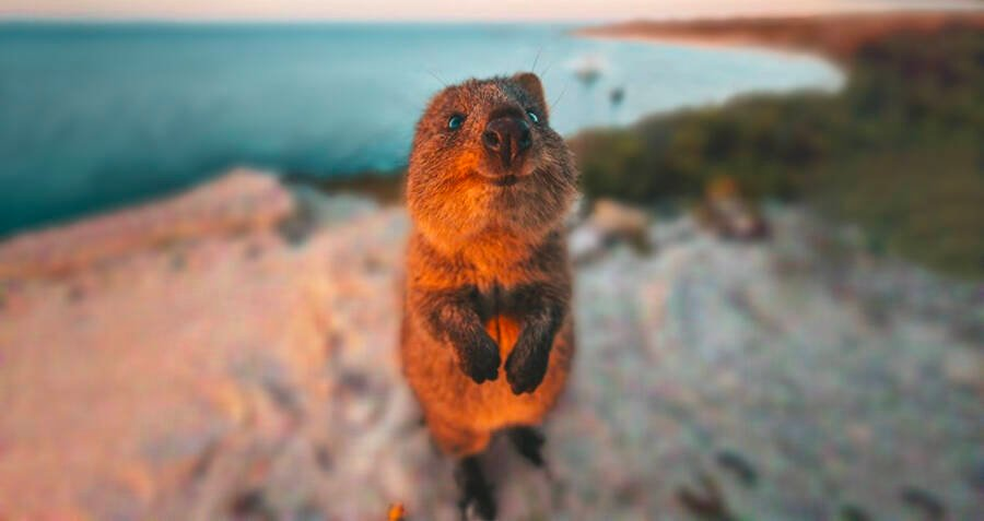 This Smiling, Cat-Sized Marsupial Might Be The Cutest Animal On Earth