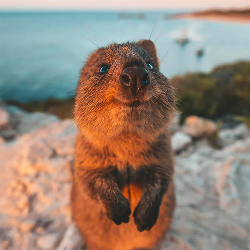 Quokka Smiling For The Camera At Sunset