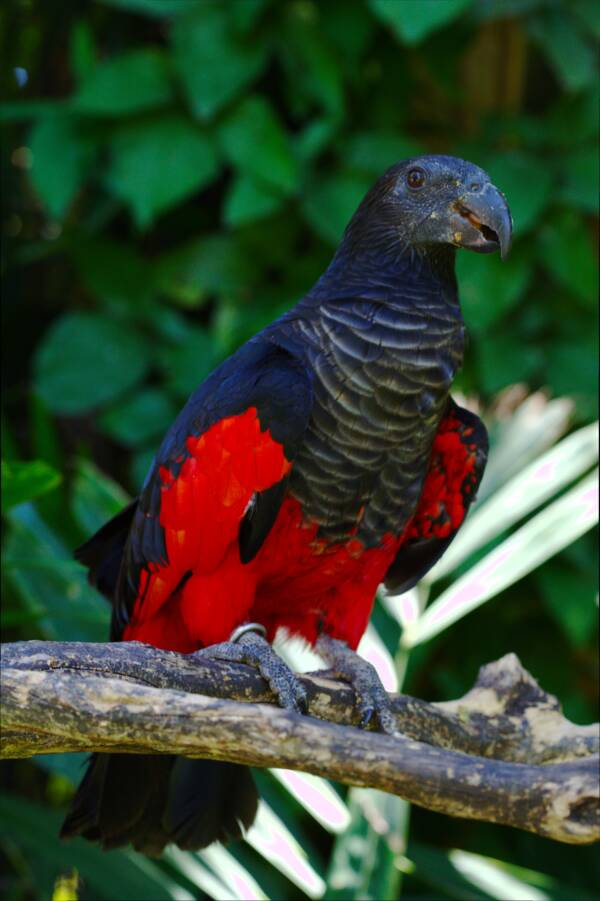 Red Body Dracula Parrot