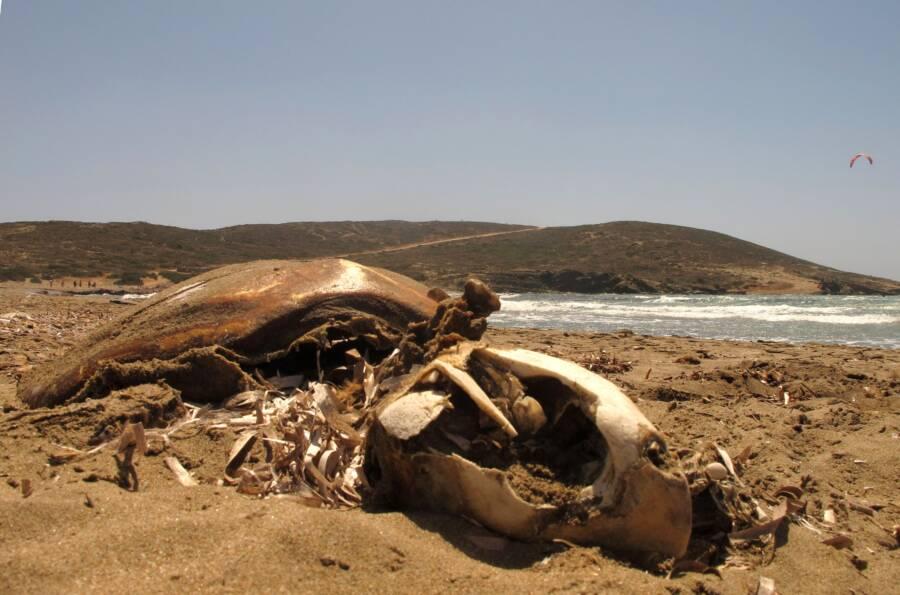 Sea Turtle Carcass