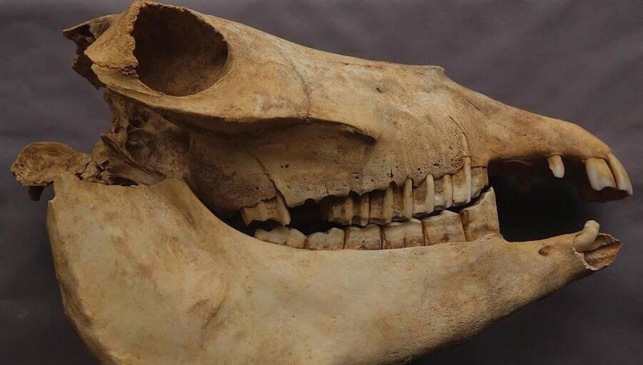 Donkey Skull From Tang Dynasty