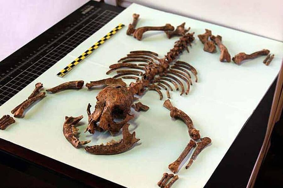 Tiny Roman Dog Breed