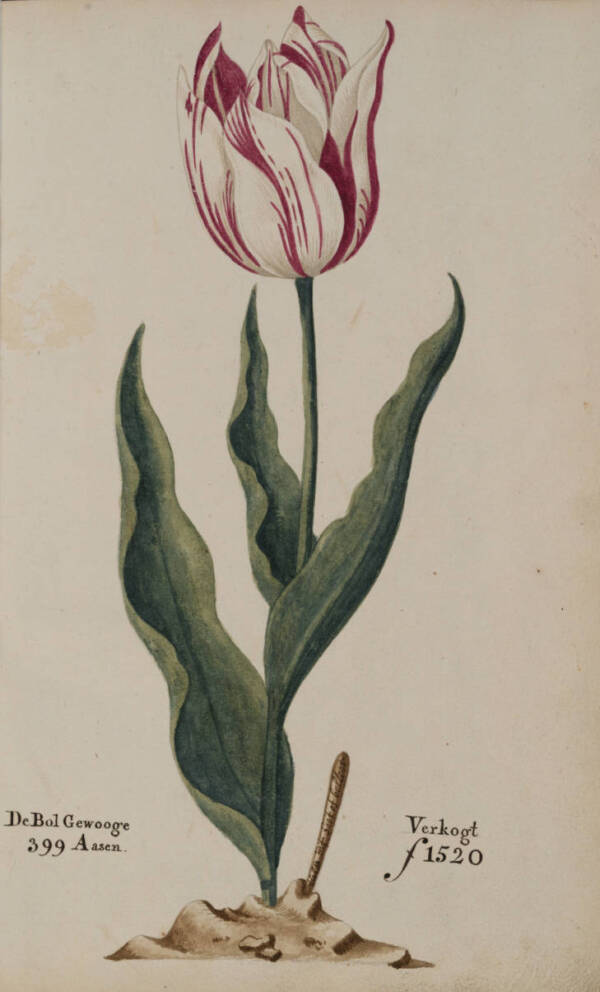 Tulip Prices In 1637