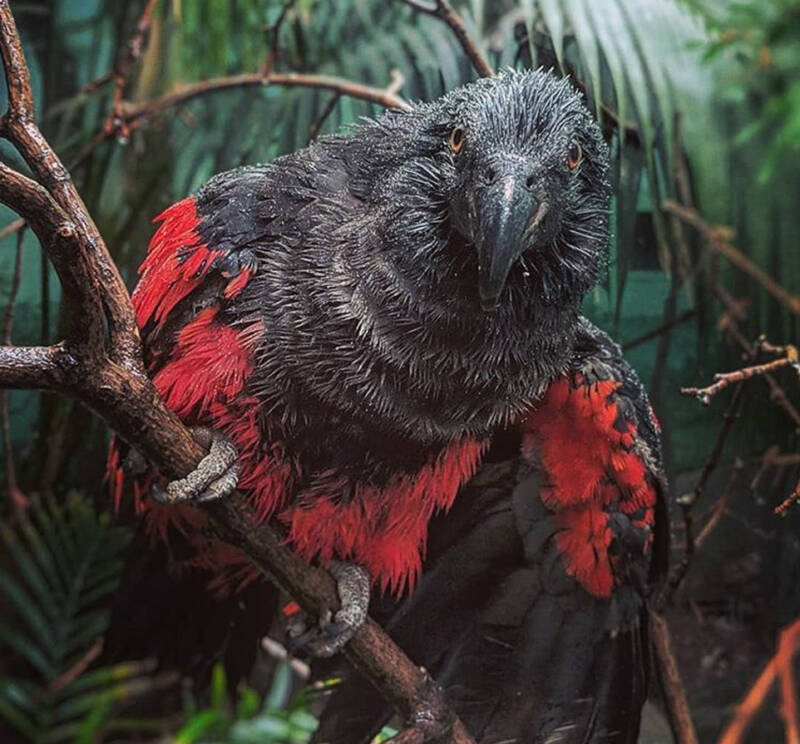 Wet Dracula Parrot