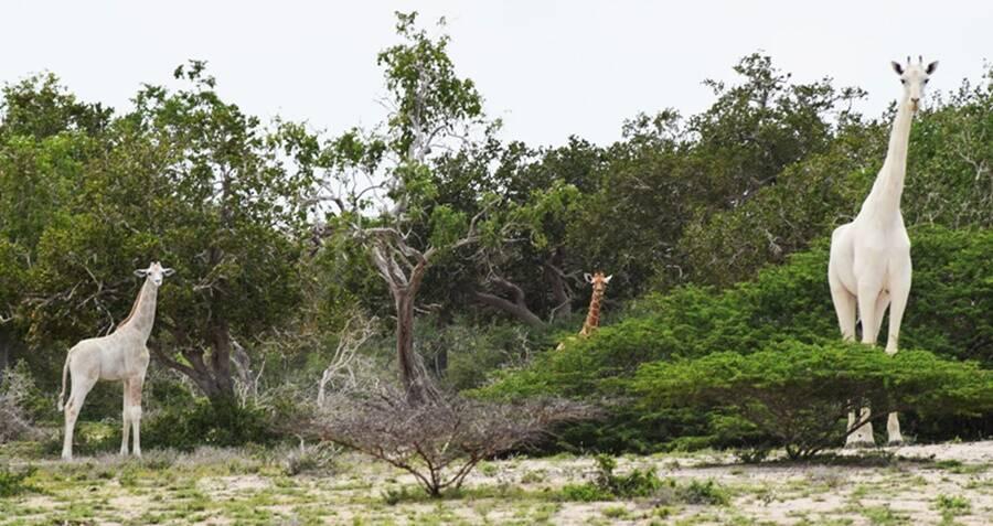 Two Of The World's Last White Giraffes Killed By Poachers In Kenya
