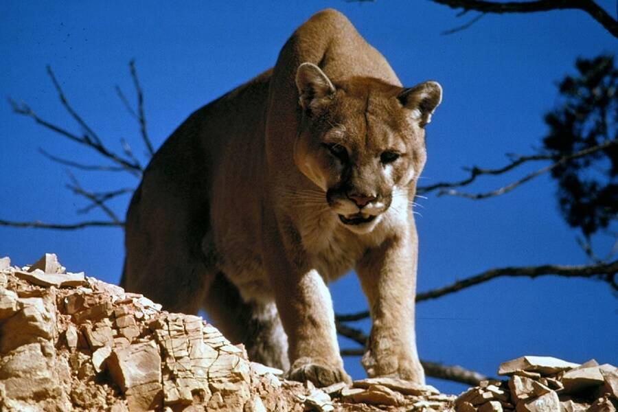 Cougar In The Wild
