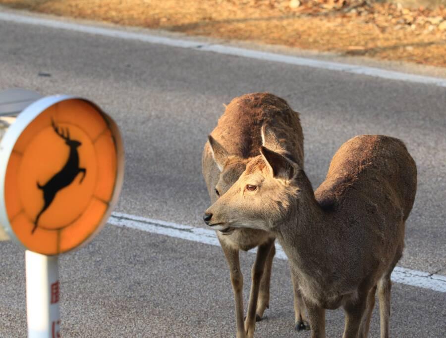Deer In Empty Nara