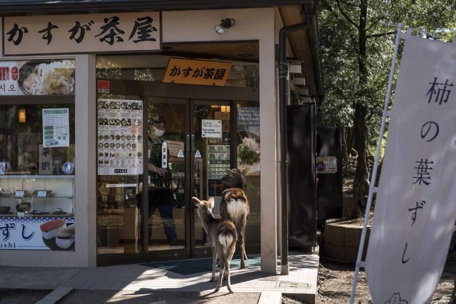 Deer In Front Of Japanese Cafe