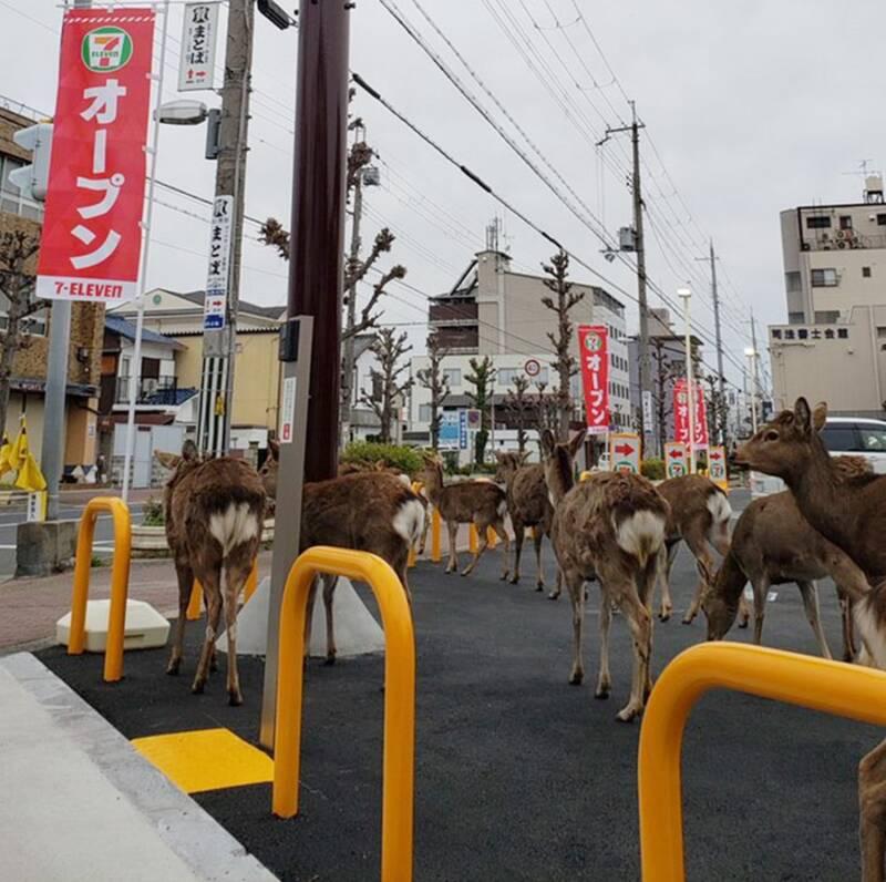 Deers In Japan