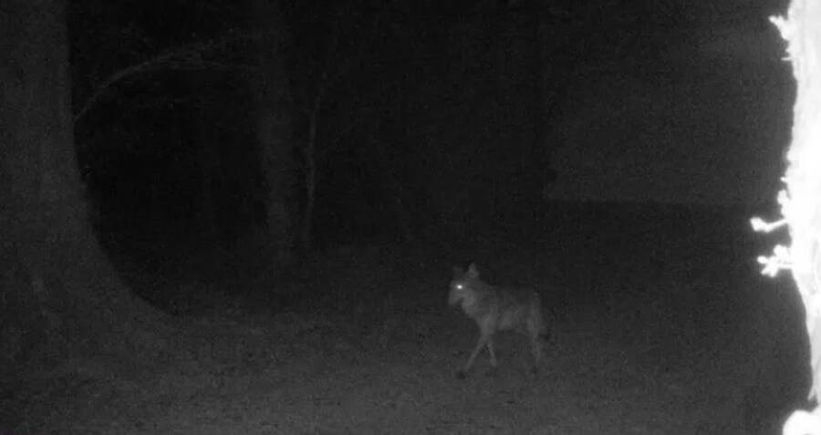 european-wolf-sighting.jpg