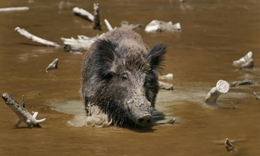 Feral Hog In Water