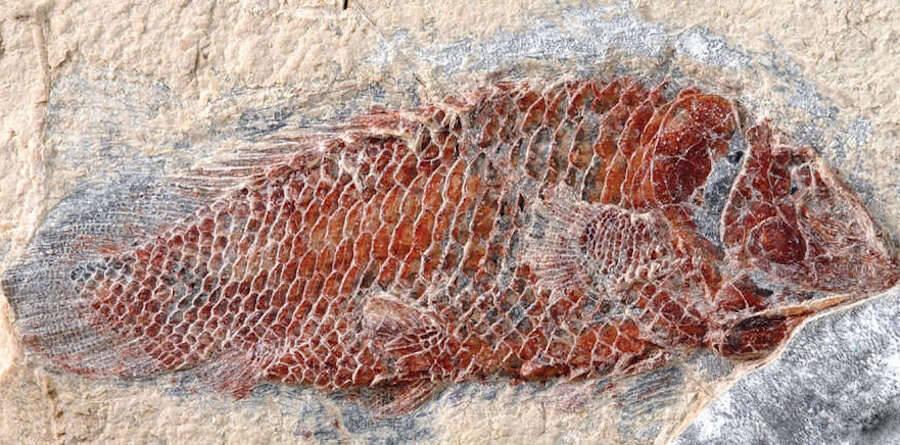 Fossilized Serenoichthys Kemkemensis