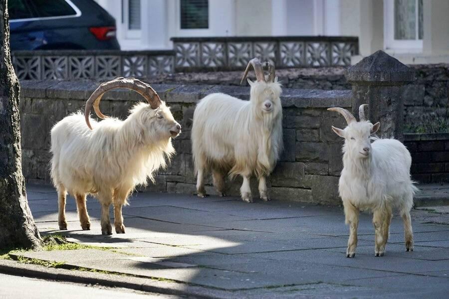 Goats Roaming Wales Town