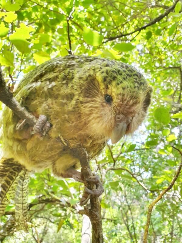 Green Owl Parrot