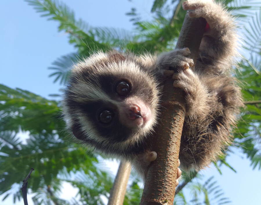 Hanging Cute Baby Loris