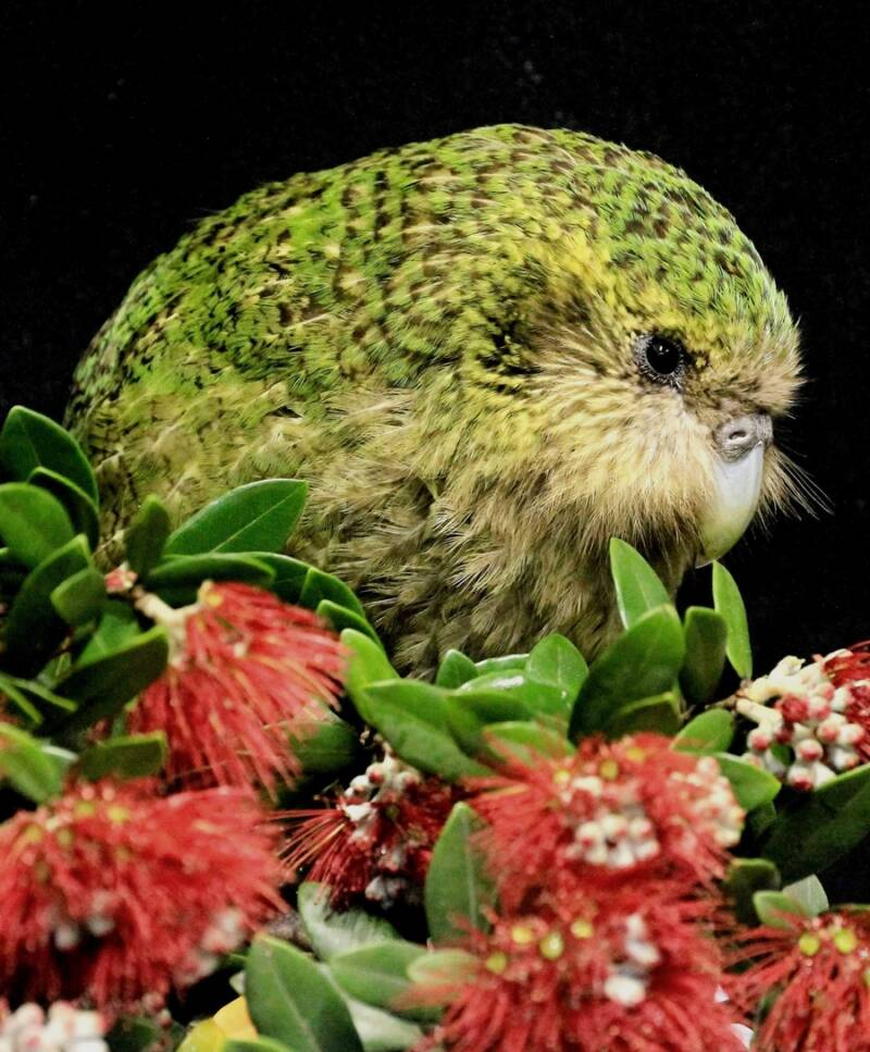 Kakapo And Flowers